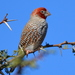 Red-headed Finch - Photo (c) copper, some rights reserved (CC BY-NC)