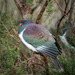 New Zealand Pigeon - Photo (c) Pete McGregor, some rights reserved (CC BY-NC-ND)