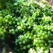 Caulerpa geminata - Photo (c) Erasmo Macaya, some rights reserved (CC BY-NC)