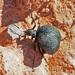 Cysteodemus wislizeni - Photo (c) Jerry Oldenettel, algunos derechos reservados (CC BY-NC-SA)