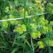 Euphorbia brachycera - Photo (c) Lee Elliott,  זכויות יוצרים חלקיות (CC BY-NC-SA)