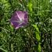 Calystegia sepium americana - Photo (c) Pat Deacon, algunos derechos reservados (CC BY-NC)