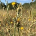 Yellow Starthistle - Photo (c) longviewca, some rights reserved (CC BY-NC)
