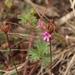 Pelargonium grossularioides - Photo (c) Sandra Falanga,  זכויות יוצרים חלקיות (CC BY-NC)