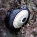 Megathura crenulata - Photo (c) Amber, osa oikeuksista pidätetään (CC BY-NC-SA)