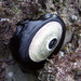 Giant Keyhole Limpet - Photo (c) Amber, some rights reserved (CC BY-NC-SA)