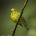 African Yellow White-Eye - Photo (c) Francesco Veronesi, some rights reserved (CC BY-NC-SA)