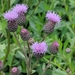 Creeping Thistle - Photo (c) Almantas Kulbis, some rights reserved (CC BY-NC)