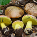 Butter Boletes - Photo (c) Christian Schwarz, some rights reserved (CC BY-NC)