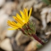 Pyrrocoma apargioides - Photo (c) Marion Anthonisen, μερικά δικαιώματα διατηρούνται (CC BY-NC)