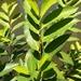 Ficus virgata - Photo (c) celinawa, osa oikeuksista pidätetään (CC BY-NC)