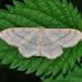 Idaea aversata - Photo (c) Quartl,  זכויות יוצרים חלקיות (CC BY-SA)
