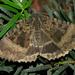 Mormo maura - Photo (c) Hamon jp, alguns direitos reservados (CC BY-SA)