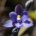 Thelymitra tholiformis - Photo (c) Bill Campbell, algunos derechos reservados (CC BY-NC)