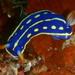 Hypselodoris festiva - Photo (c) Nemo's great uncle, algunos derechos reservados (CC BY-NC-SA)