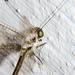 Owlflies - Photo (c) Cheryl Harleston López Espino, some rights reserved (CC BY-NC-ND)