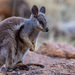 Black-flanked Rock-Wallaby - Photo (c) Julius Simonelli, some rights reserved (CC BY-NC)