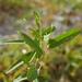 Alysicarpus bupleurifolius - Photo (c) Cheng-Tao Lin,  זכויות יוצרים חלקיות (CC BY)