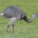 Rheas - Photo (c) Lip Kee Yap, some rights reserved (CC BY-SA)