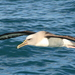 Albatros - Photo (c) Andrew Barclay, algunos derechos reservados (CC BY-NC-ND)