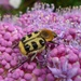 French Flower Chafer - Photo (c) Jakob Fahr, some rights reserved (CC BY-NC)