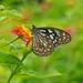 Tirumala limniace - Photo (c) Tong-Li Li,  זכויות יוצרים חלקיות (CC BY-NC-ND)