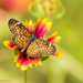Tiny Checkerspot - Photo (c) Mike Andersen, some rights reserved (CC BY-NC-ND)