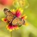 Mariposa Tablero - Photo (c) Mike Andersen, algunos derechos reservados (CC BY-NC-ND)