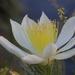 Mentzelia decapetala - Photo (c) Morgan Stickrod,  זכויות יוצרים חלקיות (CC BY-NC)