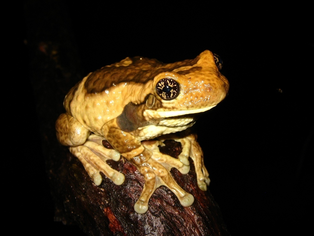Vermiculated Tree Frog - Photo (c) Jorge Armín Escalante Pasos, some rights reserved (CC BY)