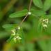 Euphorbia nutans - Photo (c) Tom Potterfield, algunos derechos reservados (CC BY-NC-SA)