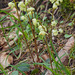 Green-flowered Wintergreen - Photo (c) Amadej Trnkoczy, some rights reserved (CC BY-NC-SA)