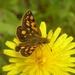 Carterocephalus mandan mandan - Photo (c) James Bailey, algunos derechos reservados (CC BY-NC)