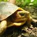 Tortuga de Monte Payaso Occidental - Photo (c) Jorge Armín Escalante Pasos, algunos derechos reservados (CC BY)