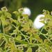 Epidendrum scytocladium - Photo (c) Bioexploradores Farallones, algunos derechos reservados (CC BY-NC)