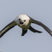 Swallow-tailed Kite - Photo (c) Greg Lasley, some rights reserved (CC BY-NC)