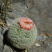 Snowball Cactus - Photo (c) Jóse Flores Ventura, some rights reserved (CC BY-NC)