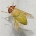 Chlorotabanus - Photo (c) Rose A. Payne, alguns direitos reservados (CC BY-NC)