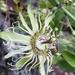 Passiflora affinis - Photo (c) Carlos G Velazco-Macias, algunos derechos reservados (CC BY-NC)