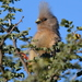 White-backed Mousebird - Photo (c) copper, some rights reserved (CC BY-NC)