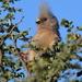 Pájaro Ratón Dorsiblanco - Photo (c) copper, algunos derechos reservados (CC BY-NC)