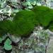 Chlorodesmis fastigiata - Photo (c) 2006 California Academy of Sciences, algunos derechos reservados (CC BY-NC-SA)
