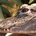 Alligator - Photo (c) Phil,  זכויות יוצרים חלקיות (CC BY-NC-SA)