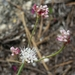 Reduced Wild Buckwheat - Photo (c) dgreenberger, some rights reserved (CC BY-NC-ND)