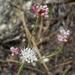Eriogonum nudum deductum - Photo (c) dgreenberger, μερικά δικαιώματα διατηρούνται (CC BY-NC-ND)