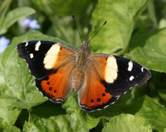 Yellow Admiral - Photo (c) Dean Morley, some rights reserved (CC BY-ND)