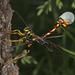 Giant Ichneumonid Wasps - Photo (c) edoswalt, some rights reserved (CC BY-NC), uploaded by edoswalt