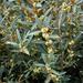 Phillyrea angustifolia - Photo Oikeuksia ei pidätetä
