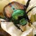 Japanese Beetle - Photo (c) BlueRidgeKitties, some rights reserved (CC BY-NC-SA)