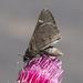 Atrytonopsis vierecki - Photo no hay derechos reservados